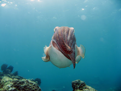 Photo of Cuttlefish