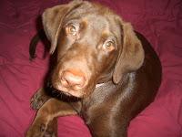 my golden brown lab, Max