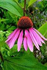 Make Echinacea syrup