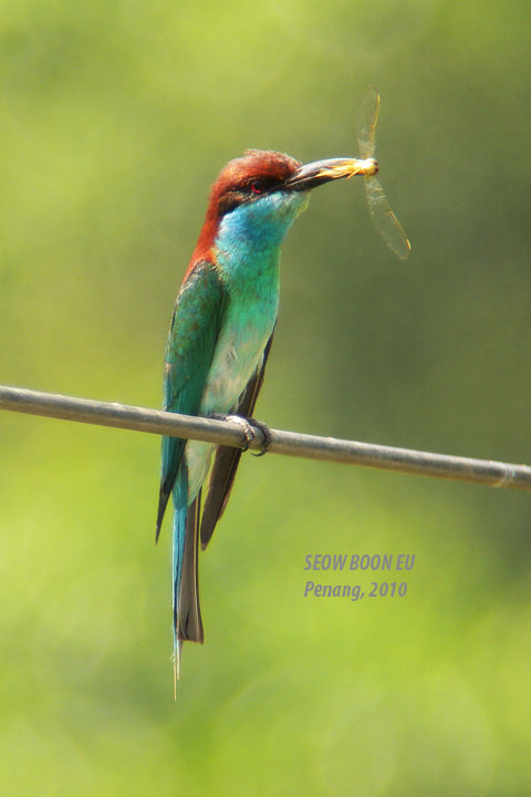 Blue Tailed Bee Eater Migration Blue-throated Bee-eaters