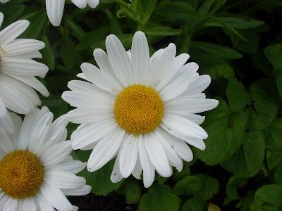 Tidy Tips Daisy Wild Flower Seed - Wildflower Seeds, Wildflower