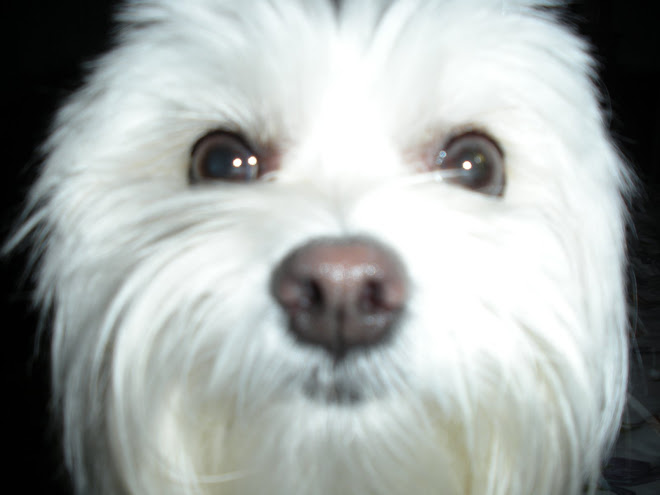 LOOK INTO THE EYES OF THE MALTESE