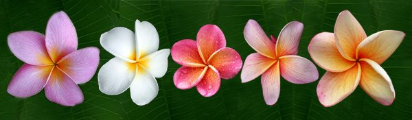 Plumeria Flowers For You