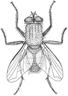 A common housefly [Hertwig, Richard (1909). A Manual of Zoology, p. 492]