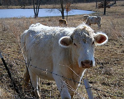 Charolais Cattle in Missouri