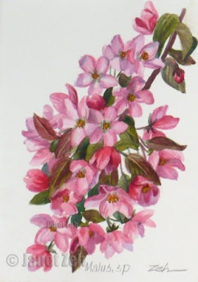 Pink Crab Apple Blossoms botanical painting