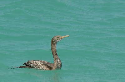 Soctra cormorant