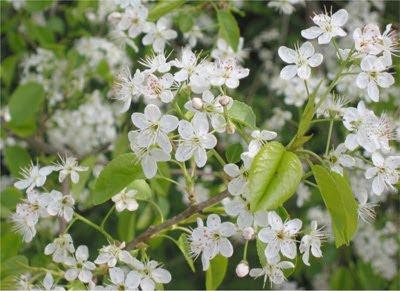 Mahleb flowers.