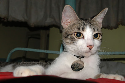 Former PAWS Shelter cat Alfie - MeFindHome.org