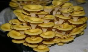 jamur tiram kuning