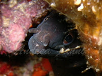 Murena helena - fotografia subacquea