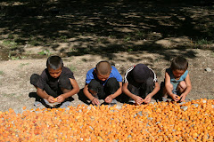 Parasta aprikoosisatoa Batkenissa