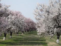 Batken on aprikoosiviljelyaluetta