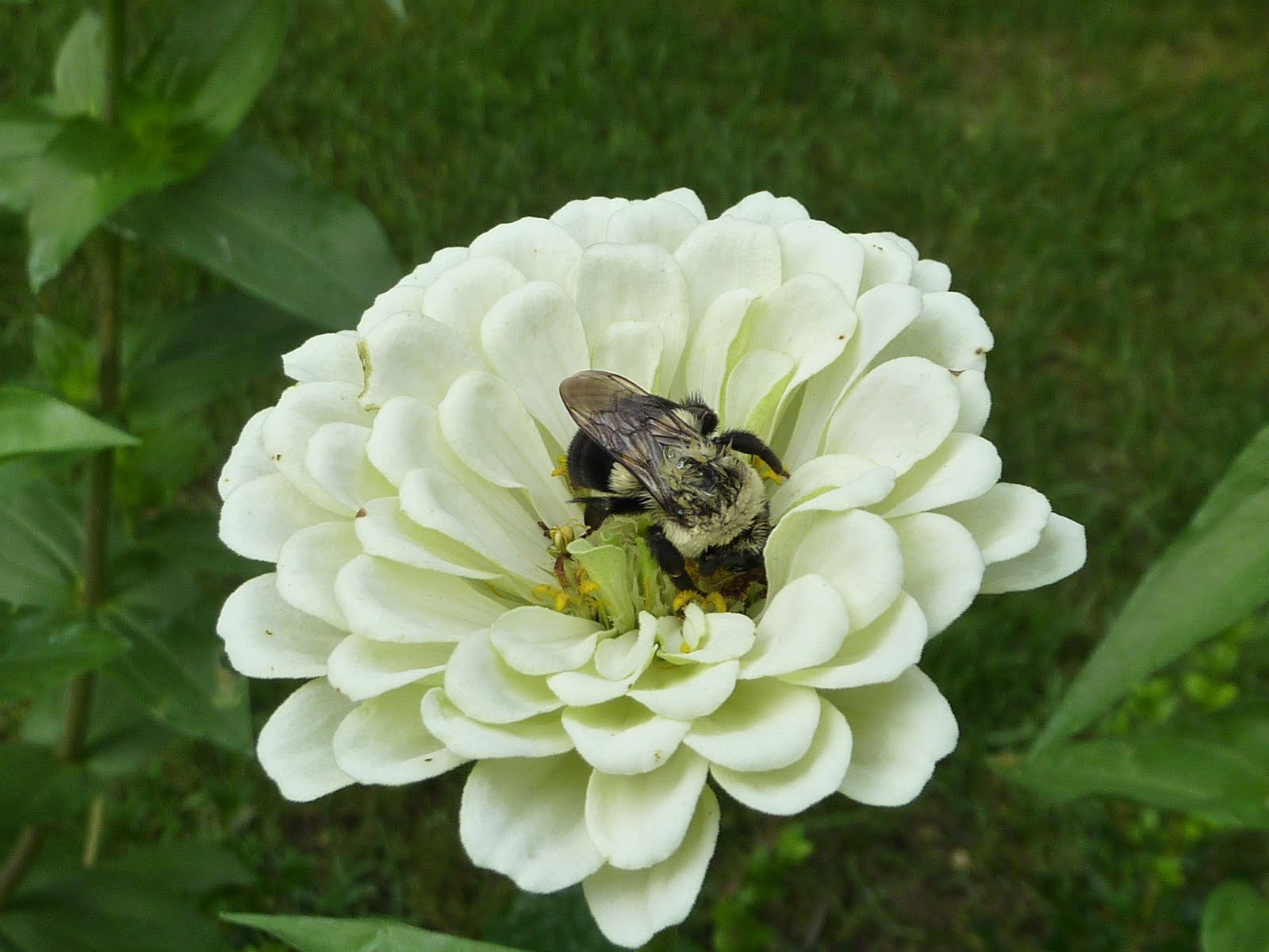 """Blooming Hill Lavender Farm Zinnia The """"Cinderella"""" of the Garden"""