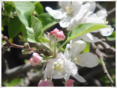 Fuji Apple Blossoms
