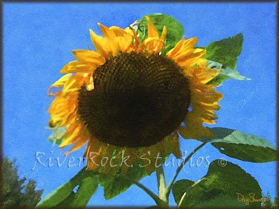Sunflower by Doug Shiver