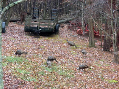 working with turkeys