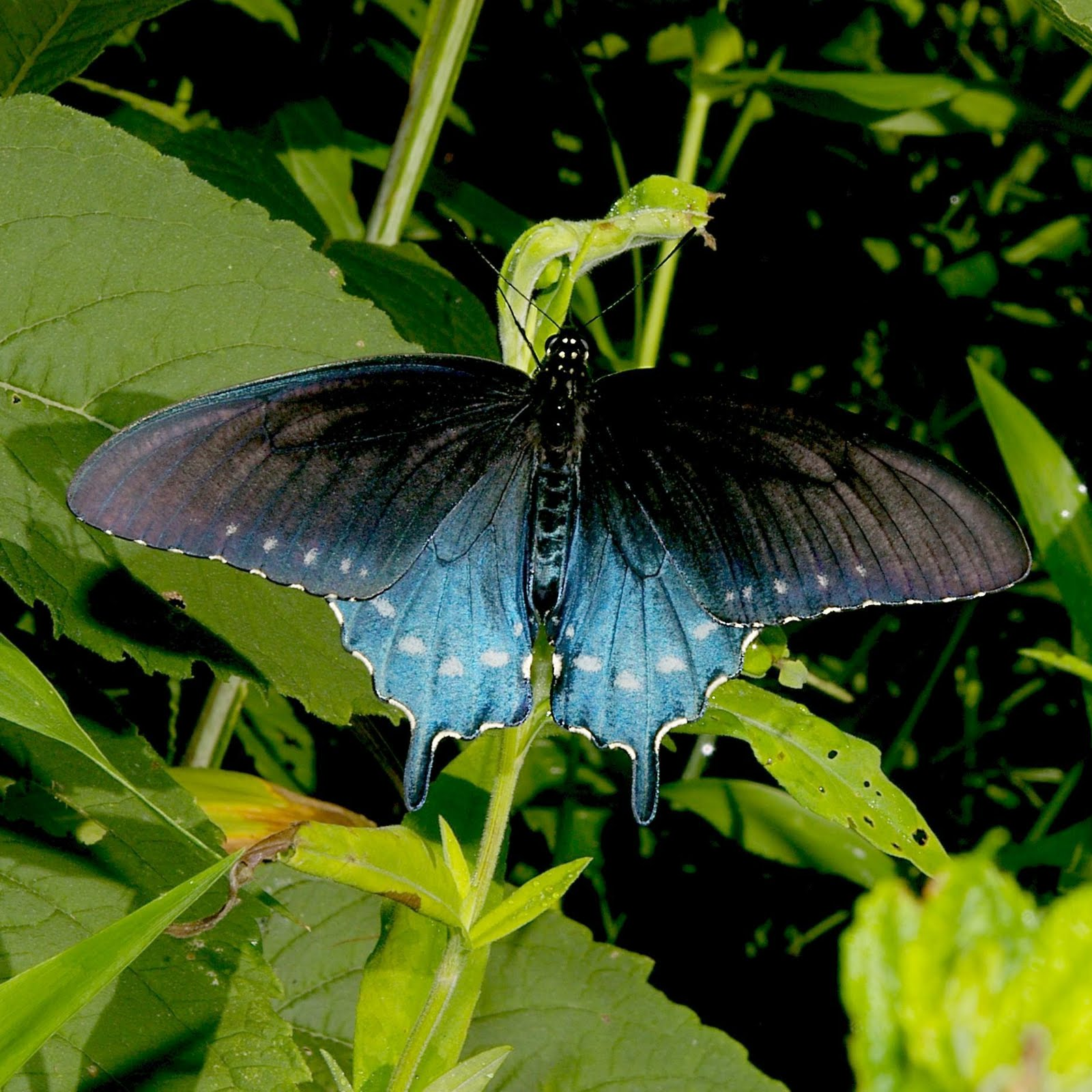 Pipevine+Swallowtail+6 20 07 1+resized Wingspan of Adult Butterfly: 38mm. Caterpillar Host Plants: Macarange ...