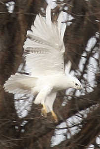 Harris Hawk Blog The White Hawk Mystery