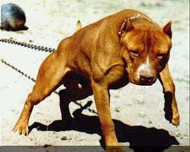 las razas de perros mas peligrosas del mundo.