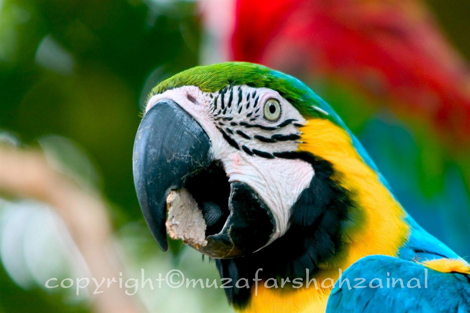 Task haiwan : burung kakak tua, zoo negara