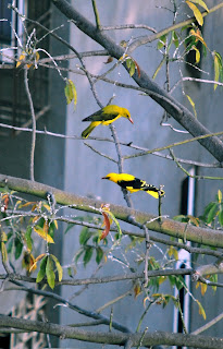 Mumbai Male and Female Oriole