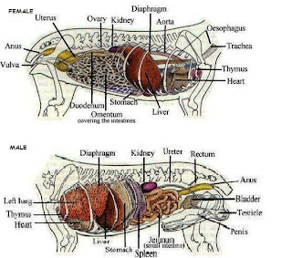 Internal anatomy of a dog