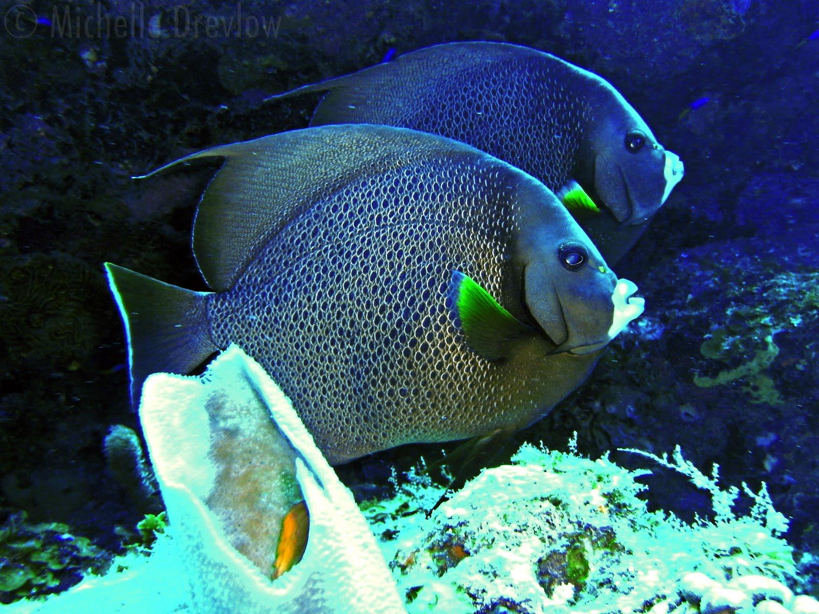 Gray Angelfish Gray angelfish