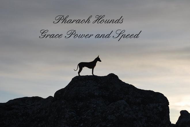 Pharaoh Hounds