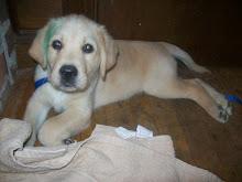 CCI Puppy #4: Hercules III