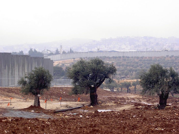 Olive Trees Outside Bethlehem Wall