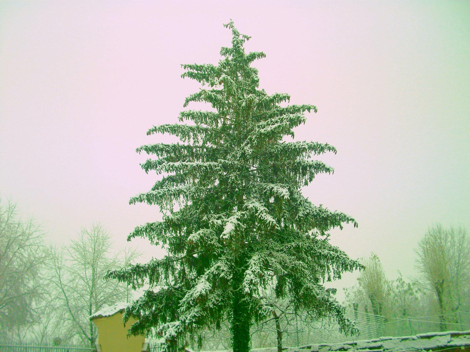 Alberi sotto la neve arbustum monsleonis for Gli alberi sempreverdi