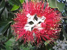 A flor da POHUTUKAWA