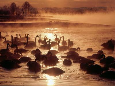 Tokachi River Whooper Swans