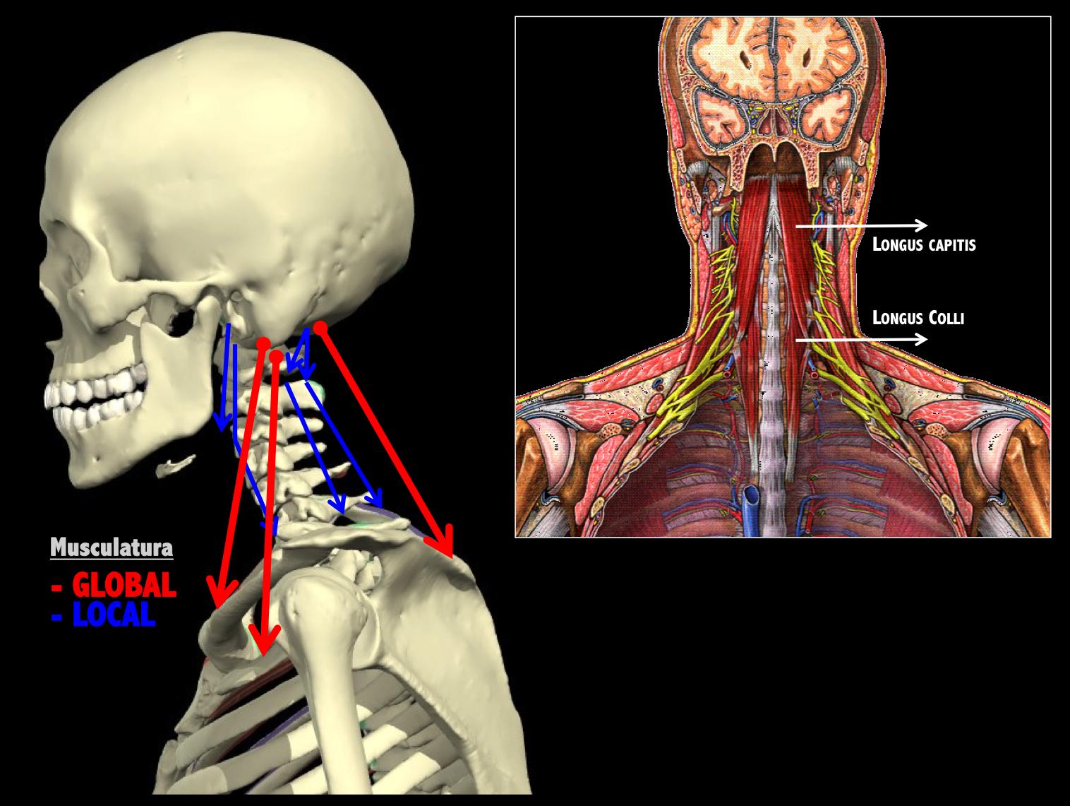 Investigation of the morphology of longus colli among