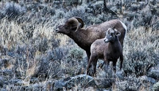 Rocky Mountain Big Horn Sheep, British Columbia, Canada, top sights in British Columiba
