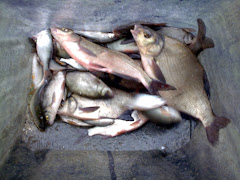 NICE BAG OF SKIMMERS AND BREAM OF PEWSEY CANAL TURNING BAY