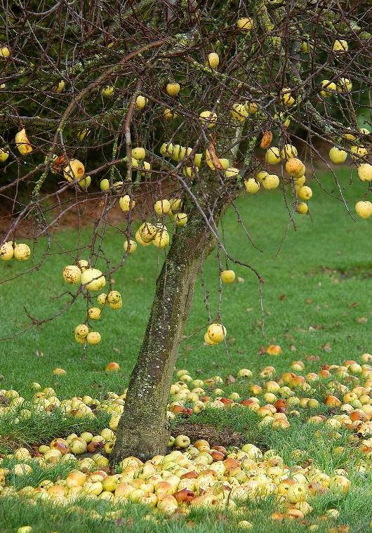 springtime-old-apple-tree-with-last-seasons-dropped-apples-vert.jpg