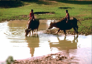 kwai or buffaloes in Thai field