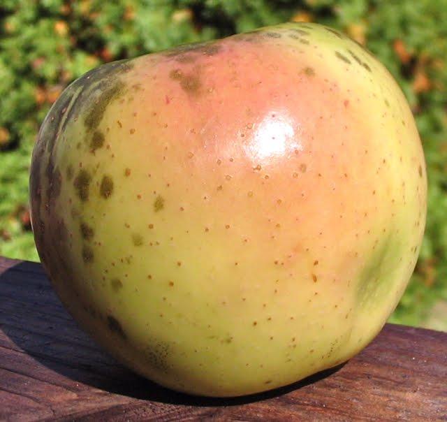 Adam's Apples: Winter Banana