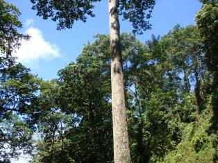 Peluang Usaha Bisnis Investasi Aman dan Menguntungkan Terbaru yaitu Budidaya Pohon Jabon Merah maupun Putih