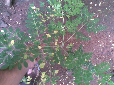 Moringa Oleifera(Tamil: Murungai and Malayalam: Muringnga)