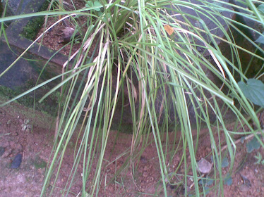 Vetiveria zizanioides(Malayalam:Ramacham)