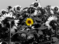 Tournesols