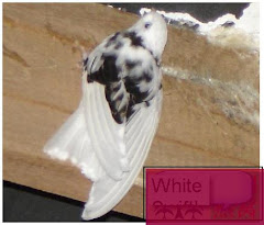 White Swiftlet