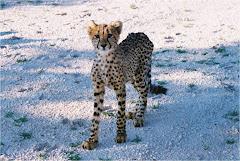 Cheetah cub Botswana