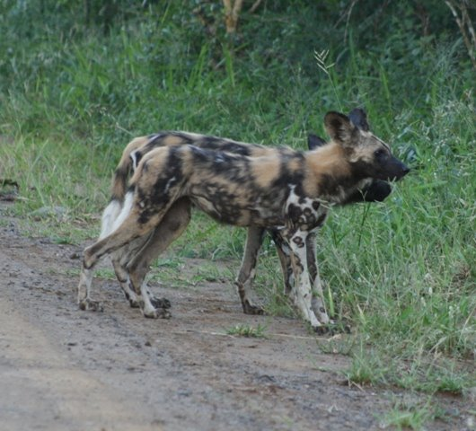 Young painted dog in Hluhluwe