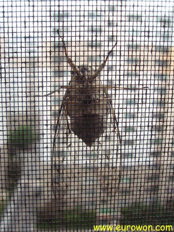 Cigarra sobre la rejilla de una ventana en Corea