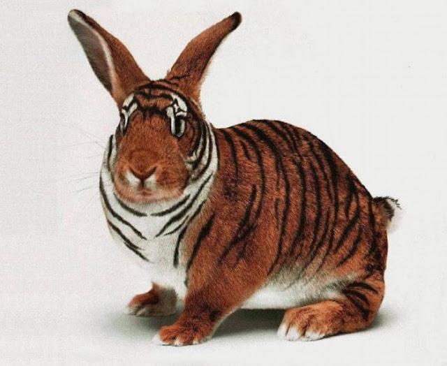 El tigronejo, mezcla de tigre y conejo