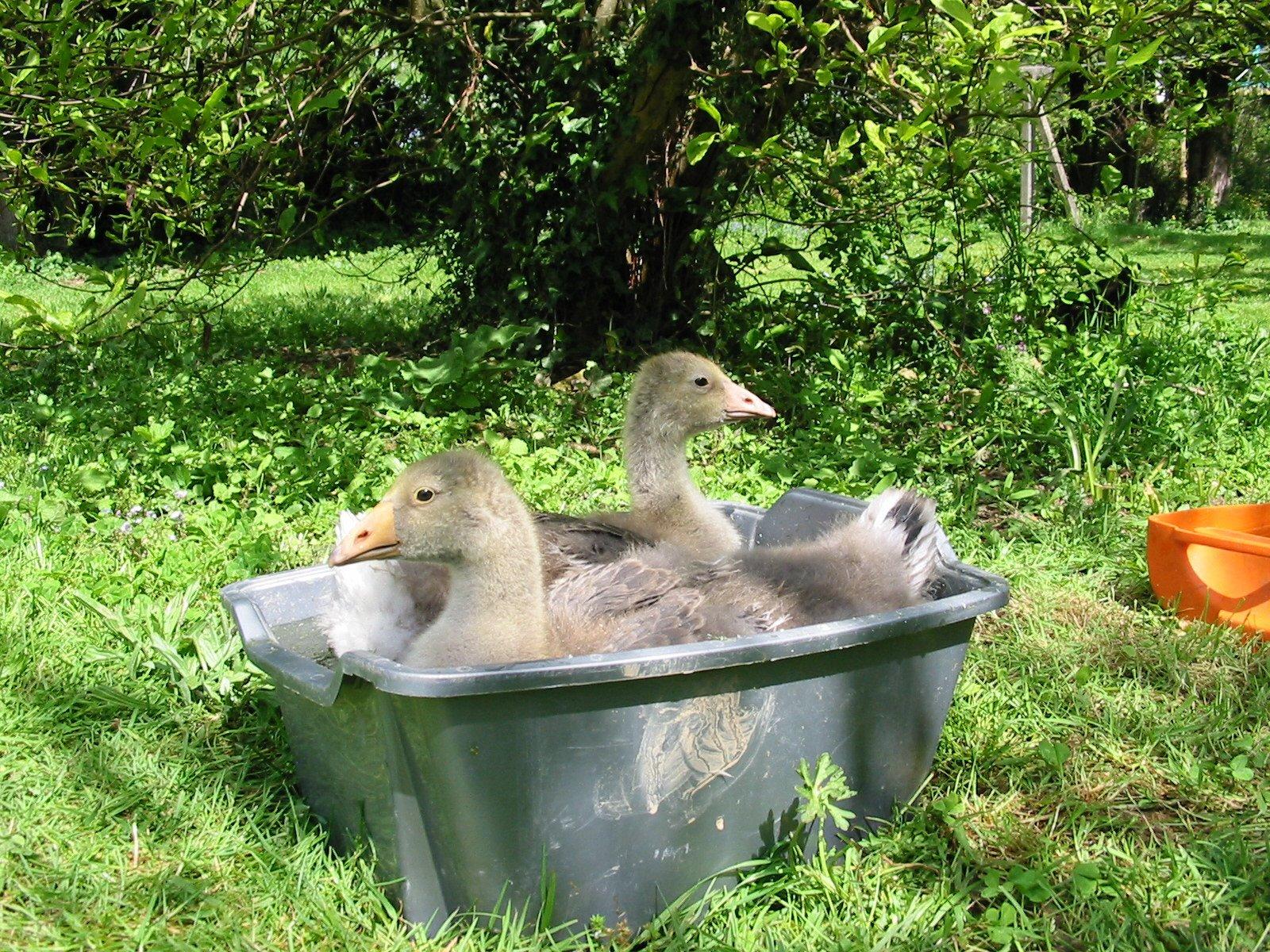 [bathing+geese.JPG]